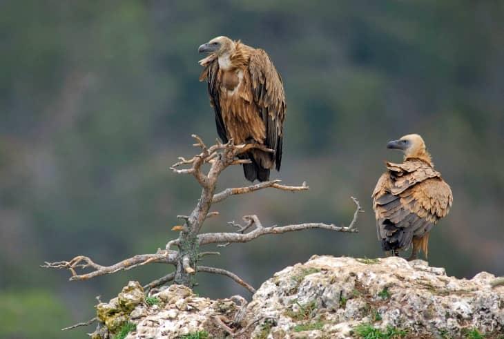 Aves del Centro de Cría del Quebrantahuesos